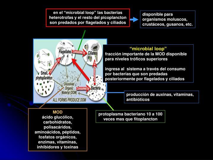 """en el """"microbial loop"""" las bacterias heterotrofas y el resto del picoplancton son predados por flagelados y ciliados"""