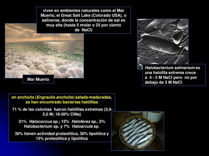 viven en ambientes naturales como el Mar Muerto, el Great Salt Lake (Colorado USA), o  salineras, donde la concentración de sal es muy alta (hasta 5 molar o 25 por ciento de NaCl)