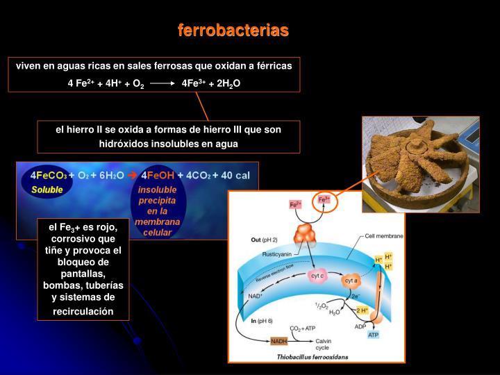 ferrobacterias