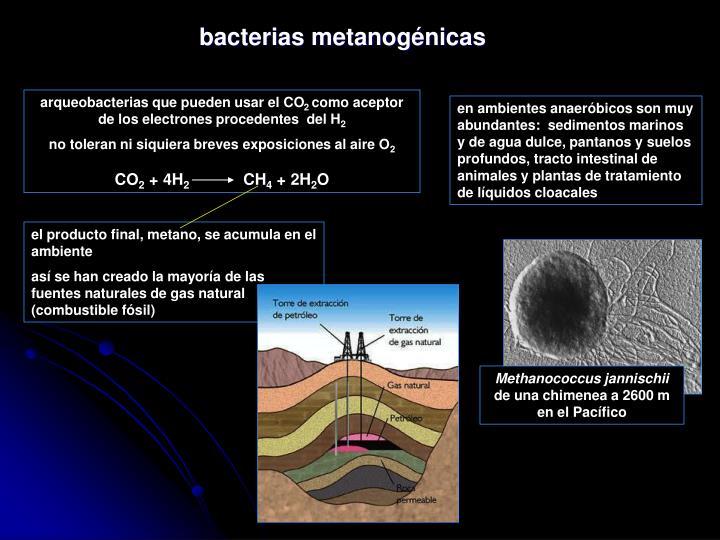 bacterias metanogénicas