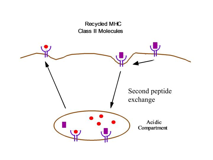 Second peptide