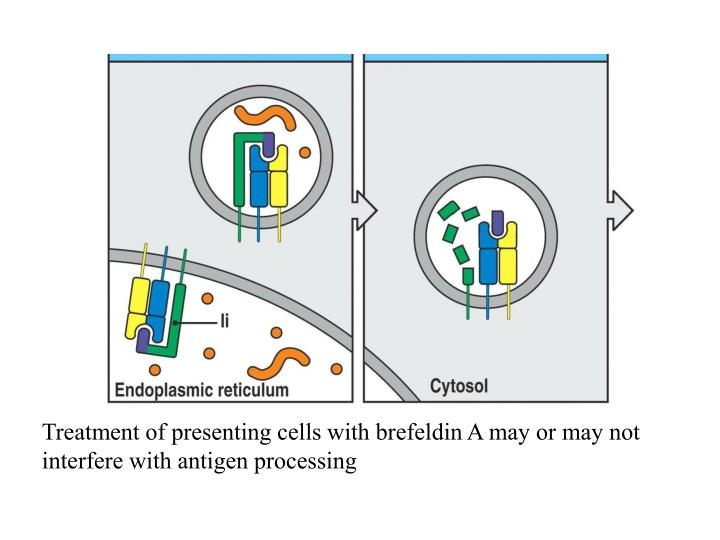 Treatment of presenting cells with brefeldin A may or may not interfere with antigen processing