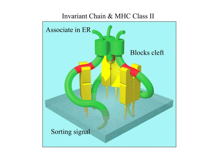 Invariant Chain & MHC Class II