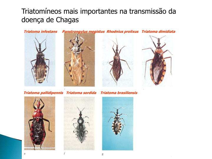 Triatomíneos mais importantes na
