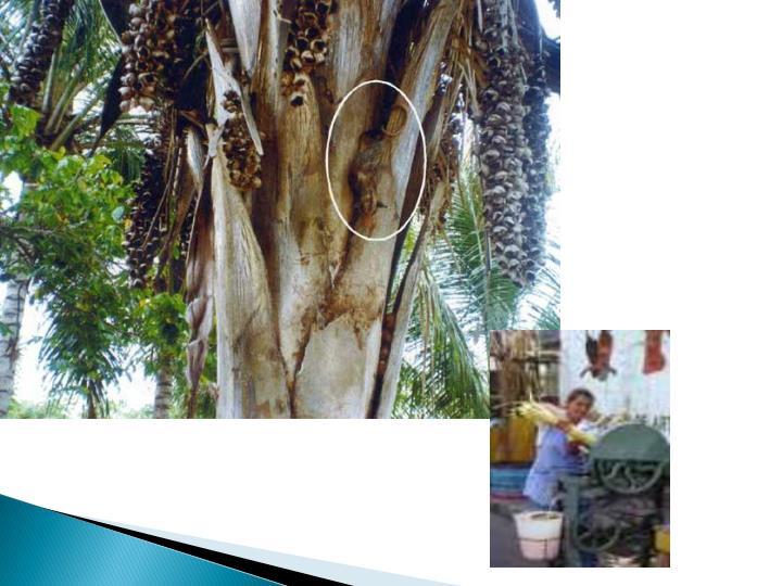 - Oral (ingestão de fezes frescas de Triatomineos infectados ou Triatomineos macerados)
