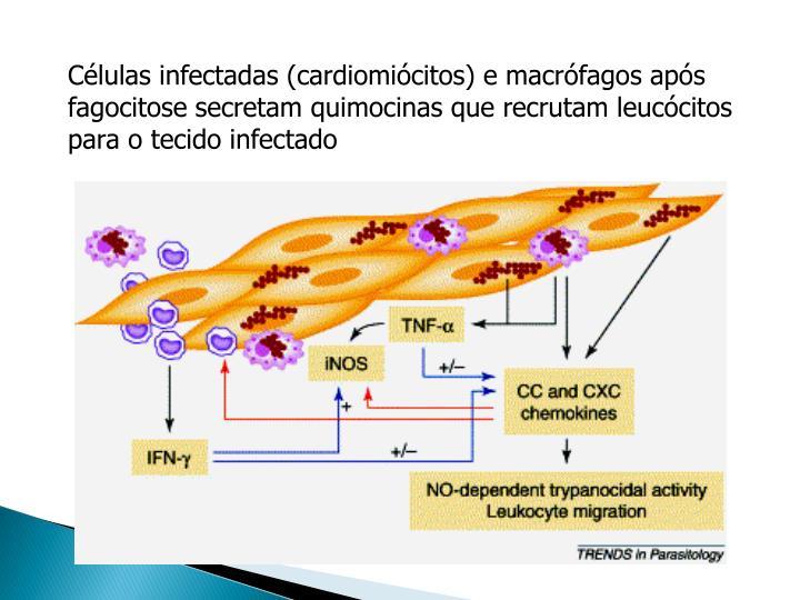 Células infectadas (cardiomiócitos) e macrófagos após fagocitose secretam quimocinas que recrutam leucócitos para o tecido infectado