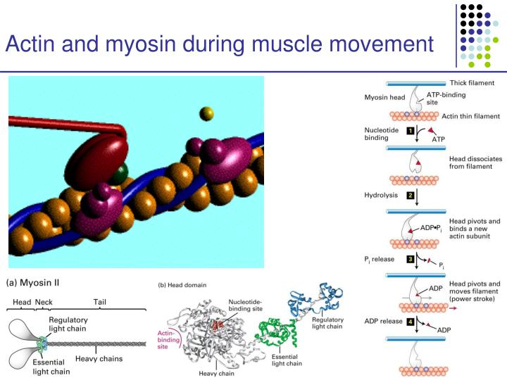 Actin and myosin during muscle movement