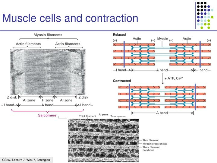 Muscle cells and contraction