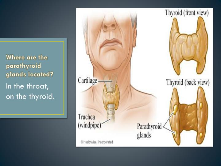 Where are the parathyroid glands located?