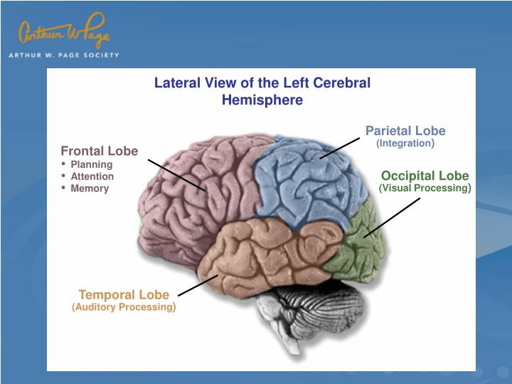 Lateral View of the Left Cerebral Hemisphere
