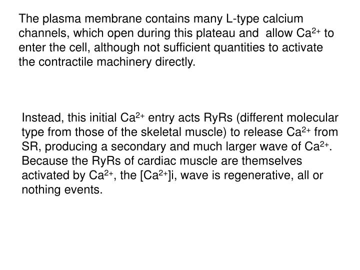 The plasma membrane contains many L-type calcium channels, which open during this plateau and  allow Ca