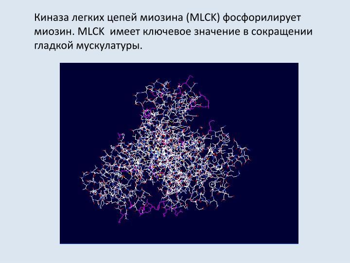 Киназа легких цепей миозина (MLCK) фосфорилирует