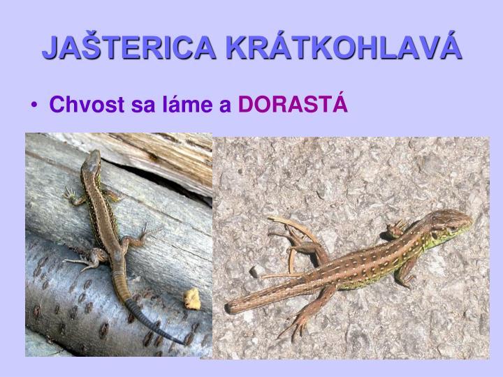 JAŠTERICA KRÁTKOHLAVÁ