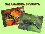 salamandra kvrnit
