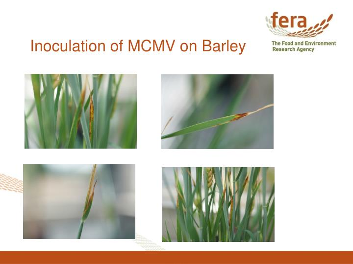 Inoculation of MCMV on Barley