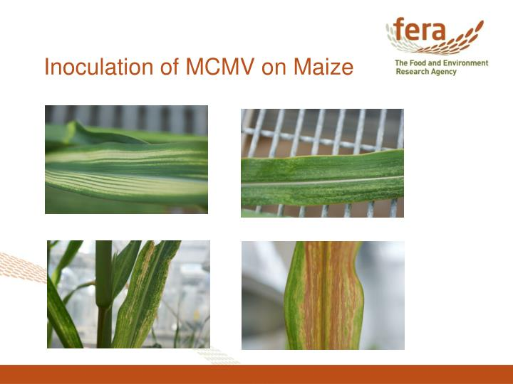 Inoculation of MCMV on Maize