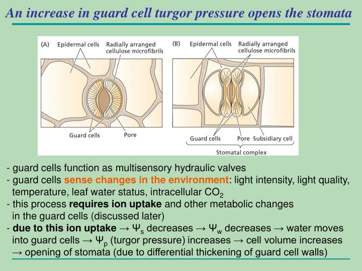 An increase in guard cell turgor pressure opens the stomata