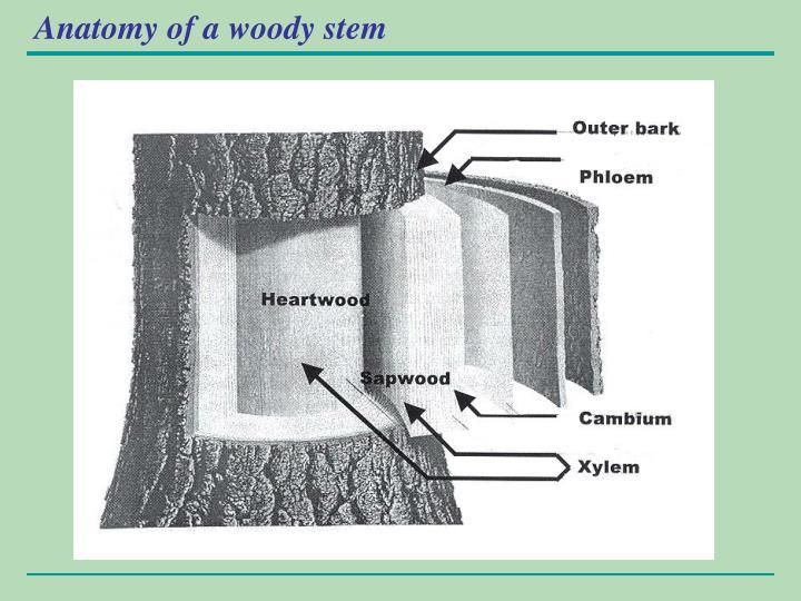 Anatomy of a woody stem