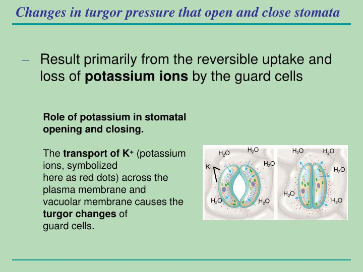 Changes in turgor pressure that open and close stomata