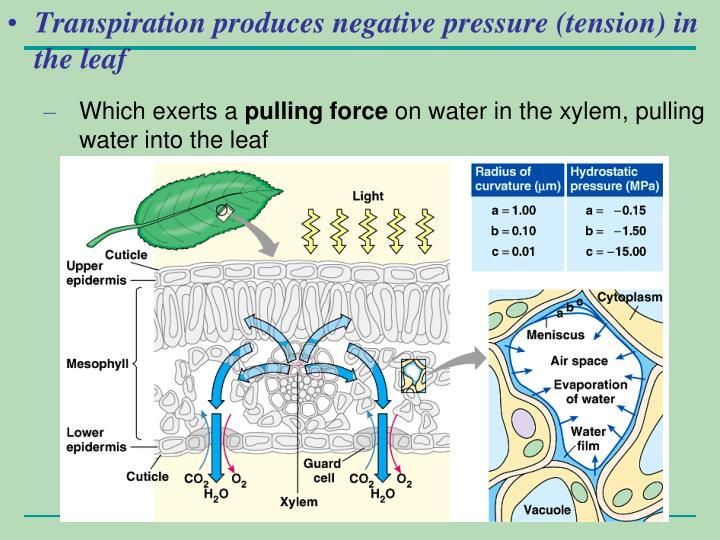 Transpiration produces negative pressure (tension) in the leaf