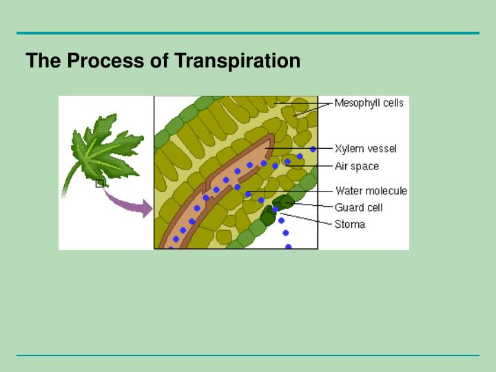 The Process of Transpiration