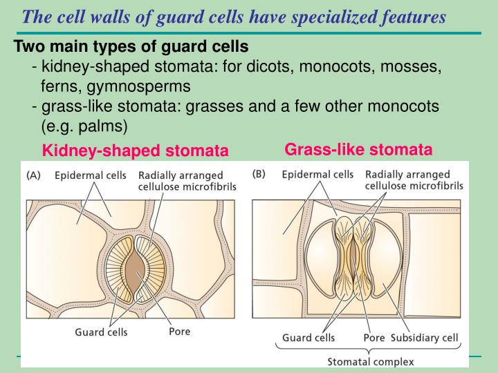 The cell walls of guard cells have specialized features