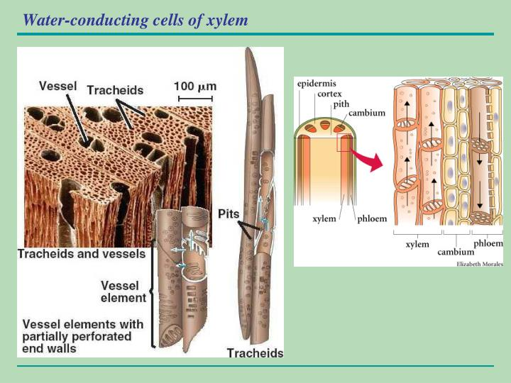 Water-conducting cells of xylem