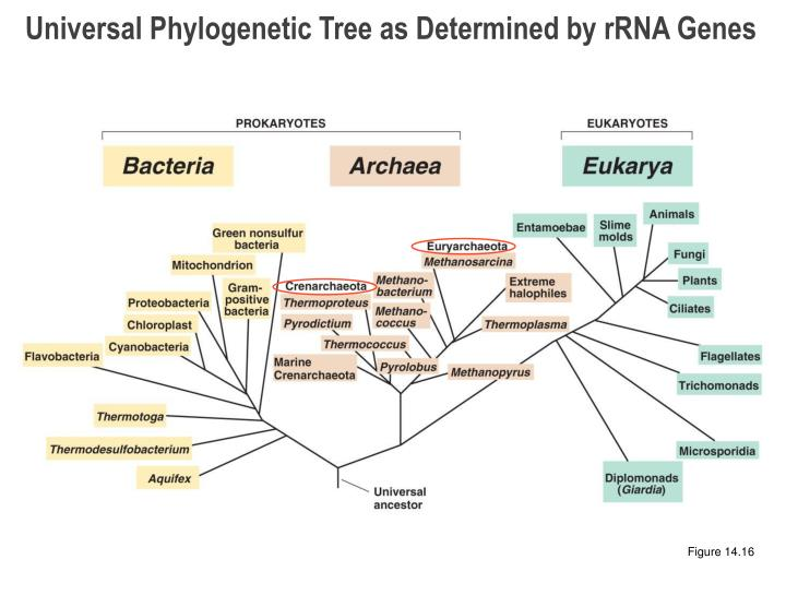 Universal Phylogenetic Tree as Determined by rRNA Genes