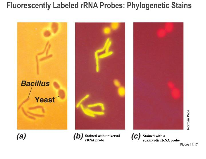 Fluorescently Labeled rRNA Probes: Phylogenetic Stains