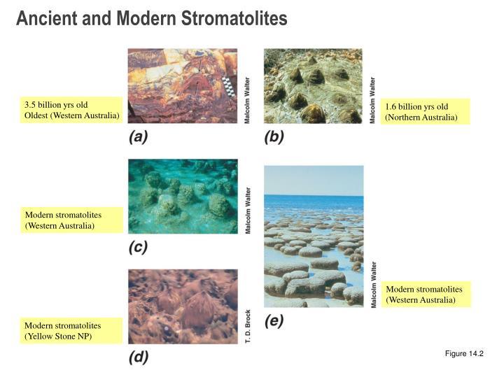 Ancient and Modern Stromatolites