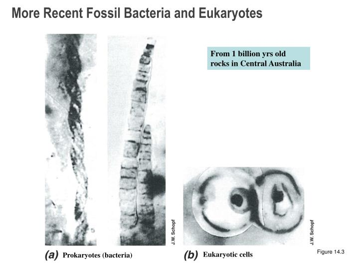 More Recent Fossil Bacteria and Eukaryotes