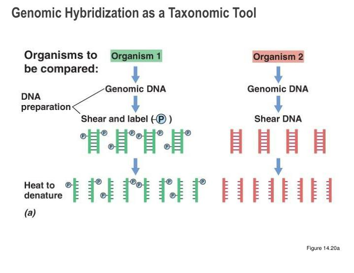 Genomic Hybridization as a Taxonomic Tool