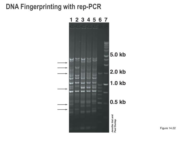 DNA Fingerprinting with rep-PCR