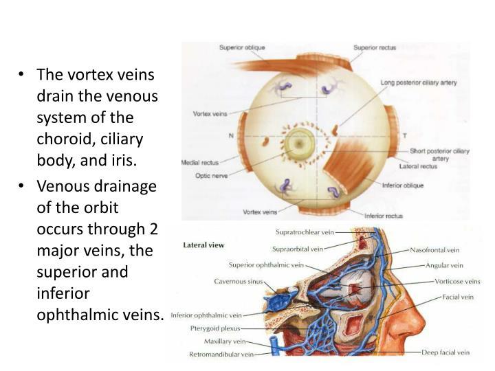 Ocular adnexa anatomy