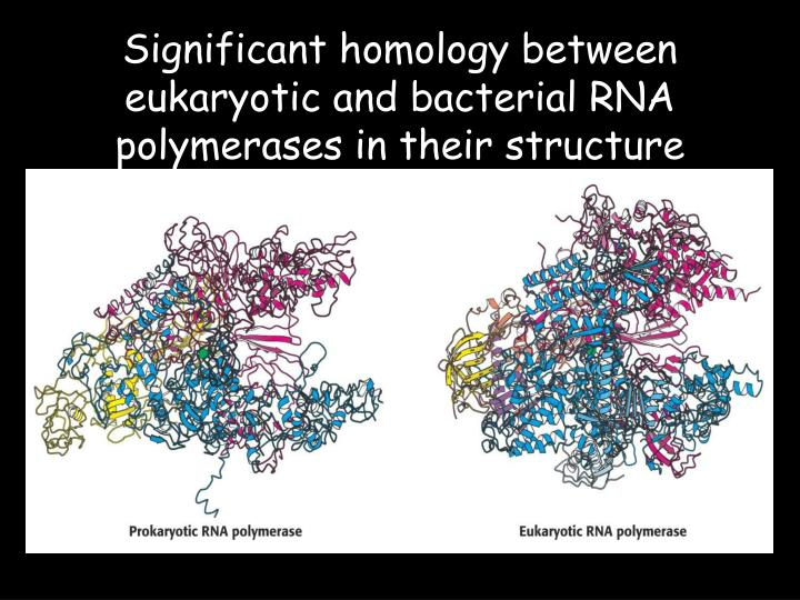 Significant homology between eukaryotic and bacterial RNA polymerases in their structure