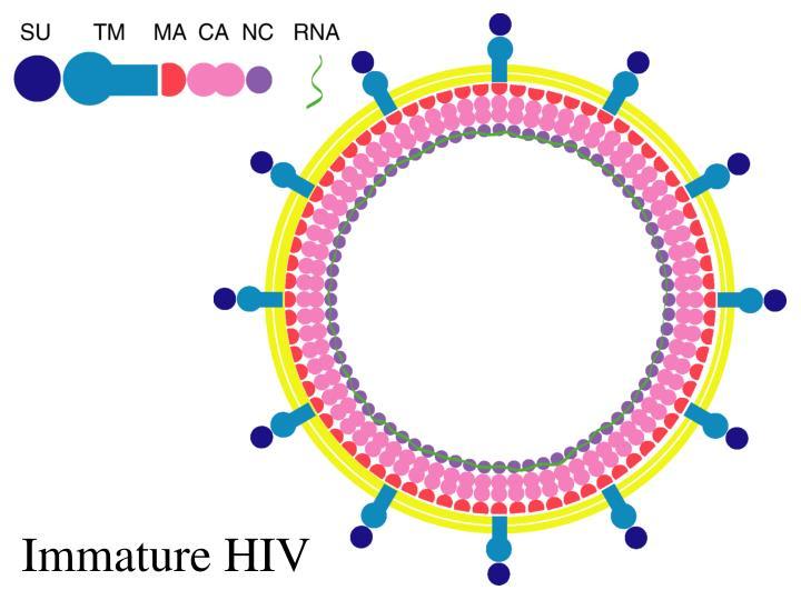 Immature HIV