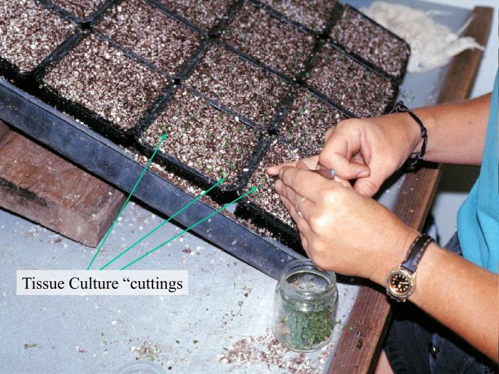 "Tissue Culture ""cuttings"