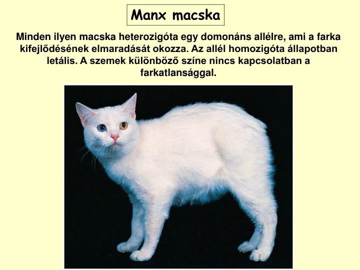 Manx macska