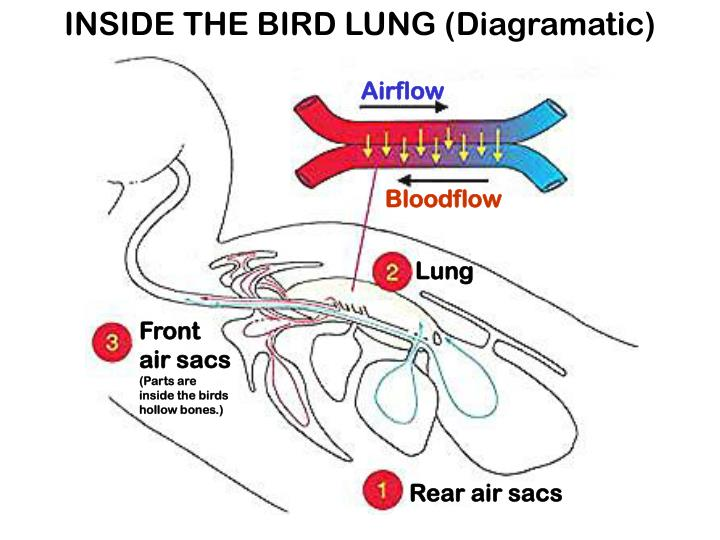 INSIDE THE BIRD LUNG (Diagramatic)