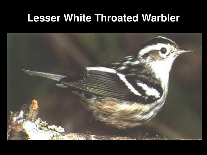 Lesser White Throated Warbler