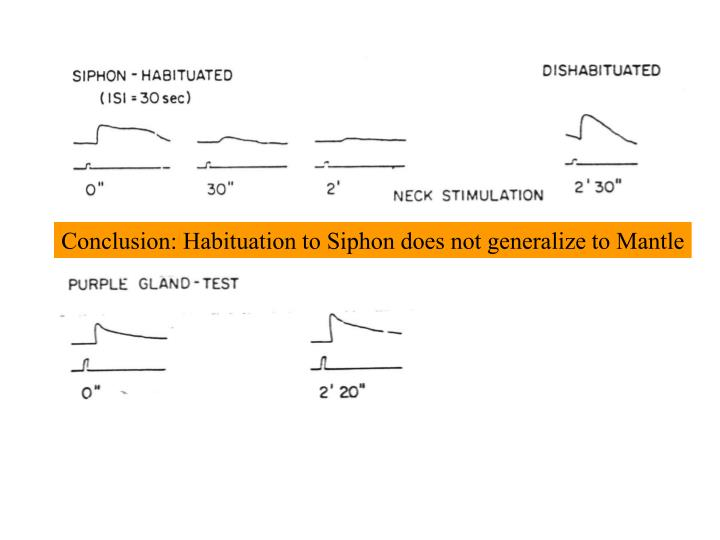 Conclusion: Habituation to Siphon does not generalize to Mantle