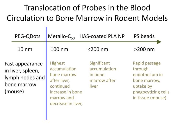 Translocation of Probes in the Blood Circulation to Bone Marrow in Rodent Models