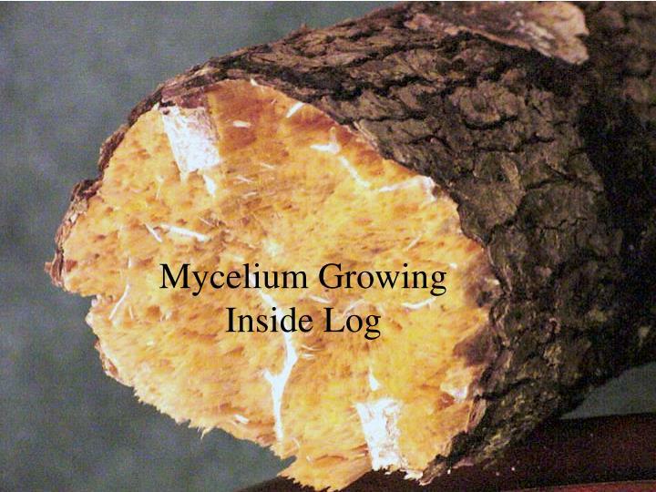 Mycelium Growing Inside Log