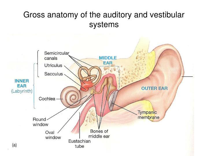 Gross anatomy of the auditory and vestibular systems