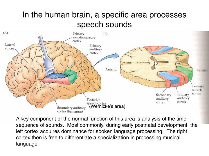 In the human brain, a specific area processes speech sounds