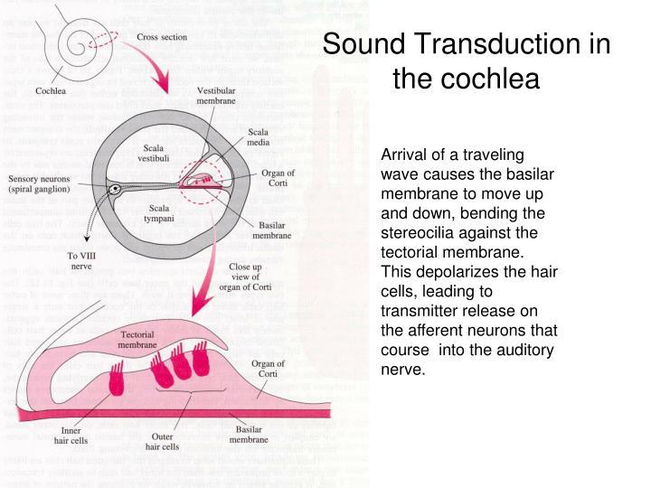 Sound Transduction in the cochlea