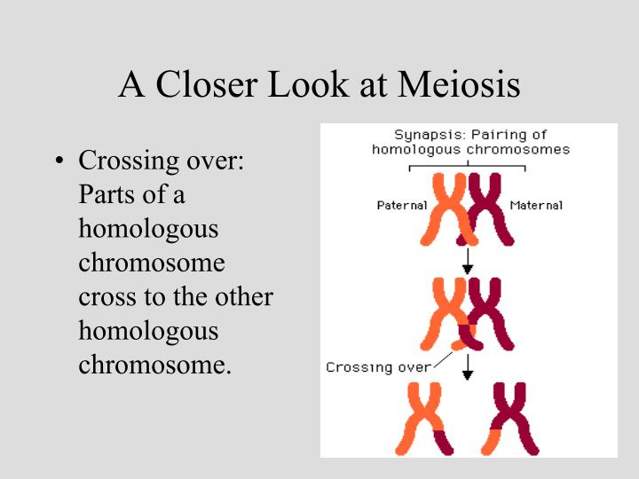 A Closer Look at Meiosis
