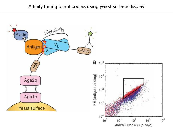 Affinity tuning of antibodies using yeast surface display