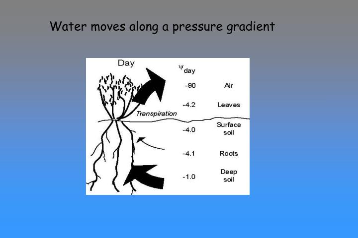 Water moves along a pressure gradient