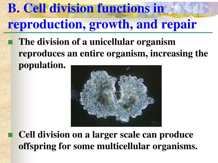 B cell division functions in reproduction growth and repair